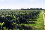 Pizzolato organic vines