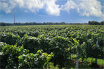 Pizzolato organic vineyard
