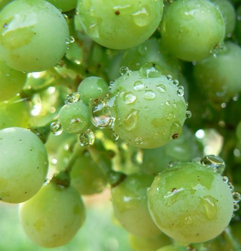 La Jara organic grapes
