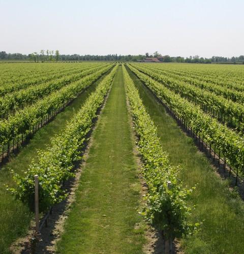 La Jara organic vineyard in summer