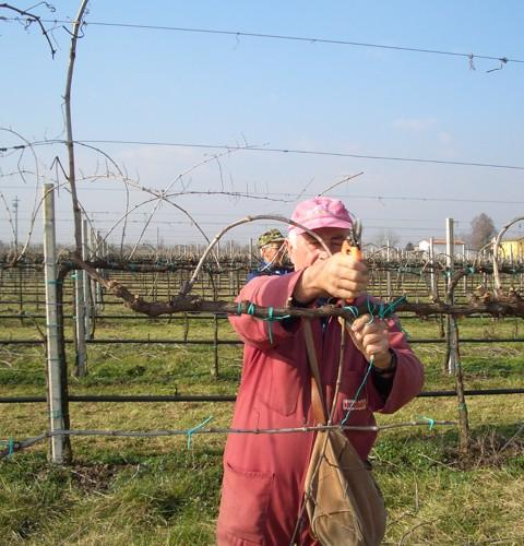 La Jara pruning vines