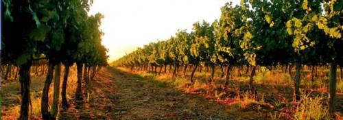 Pulpit Rock vineyard